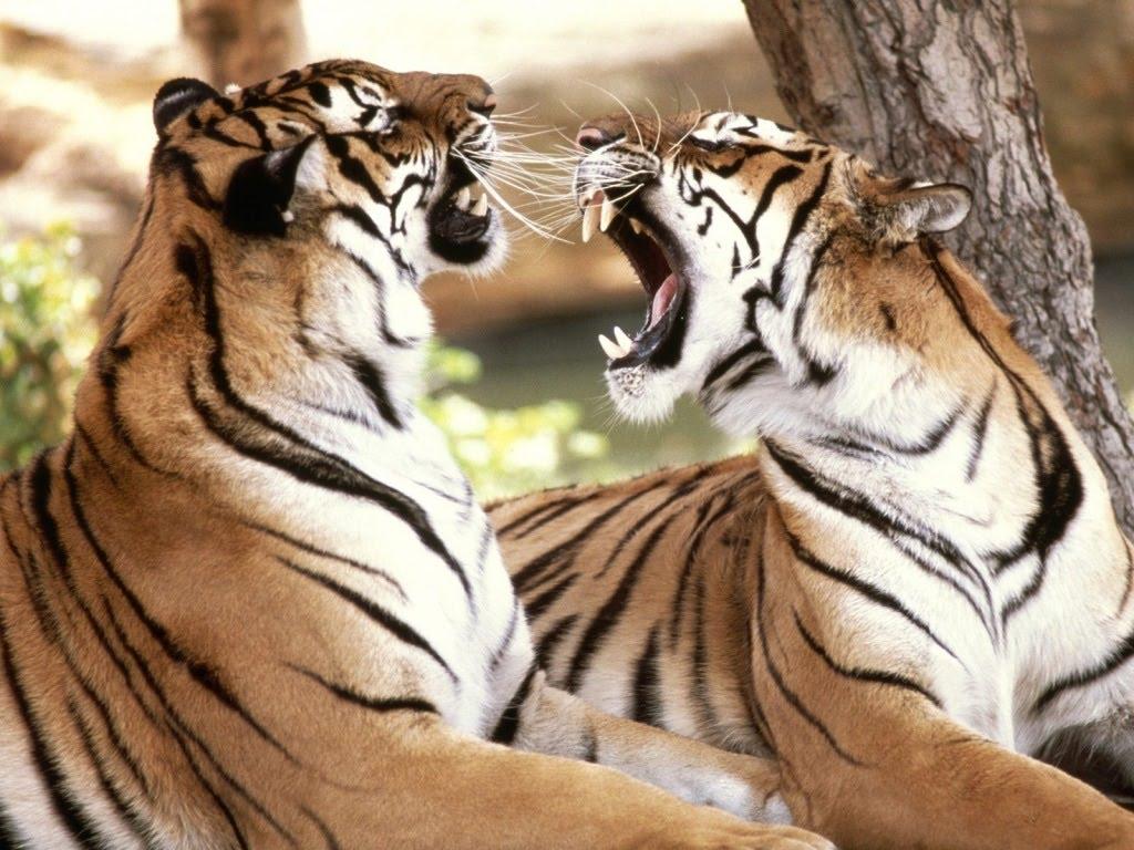 bengal_tigersfree-download-besplatne-slike