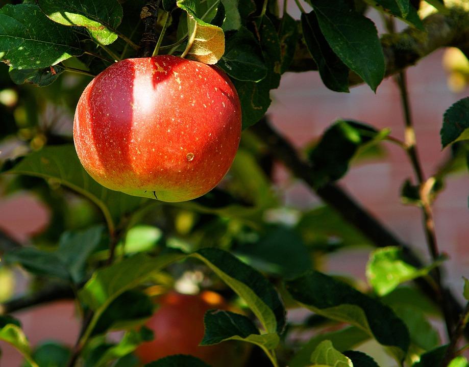 apple-tree-429213_960_720